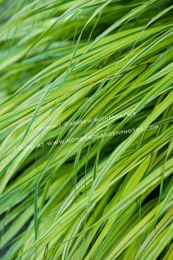 close up detail shot of the variegated, chartreuse green colored leaves of Japanese Hakone grass, Hakonechloa macra 'aureola'