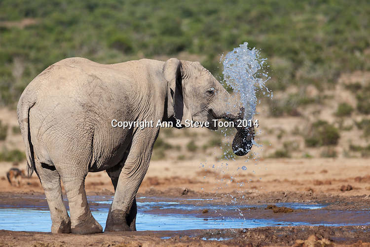 African elephant (Loxodonta africana) at Hapoor waterhole, Addo Elephant national park, South Africa, February 2014