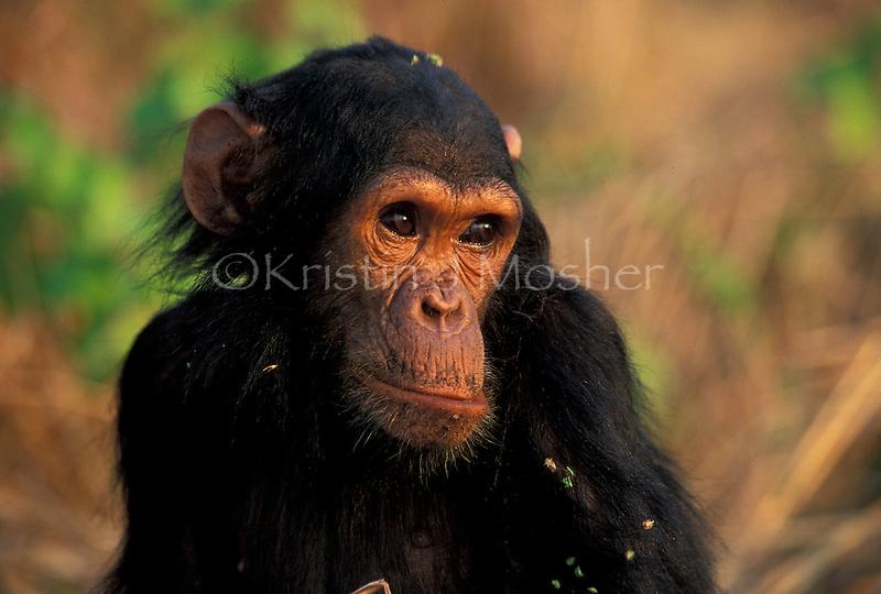 5r old Ferdinand waiting for Fifi. Gombe Stream National Park, Tanzania 1997. Male Eastern Chimpanzee (Pan troglodytes schweinfurthii). Jane Goodall Institute/GSRC
