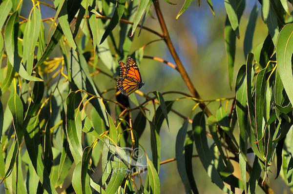 Monarch butterfly (Danaus plexippus) near Monterey Bay, CA.  Feb......