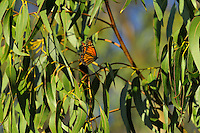 Monarch butterfly (Danaus plexippus) near Monterey Bay, CA.  Feb......