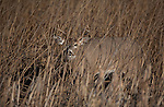 Whitetail buck  in marsh grass in Montana