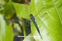 06620-006.18 Slaty Skimmer (Libellula incesta) male in wetland, Marion Co., IL