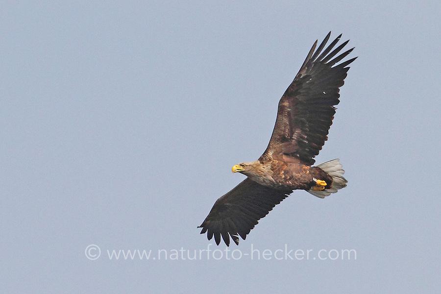 Seeadler, See-Adler, Adler, Haliaeetus albicilla, White-tailed Eagle, Pygargue à queue blanche, im Flug, Flugbild, fliegend