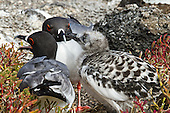 Mother, father and juvenile Swallow-tailed gulls. Junior, almost as big as its parents, is looking for food. A mating pair of Swallow-tail gulls  frequently stay together from year to year. They feed their chick for about 90 days before it ventures to the sea.