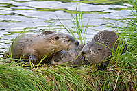 Northern River Otter (Lontra canadensis) family--mom and two pups rest on grassy log along edge of pond.  Western U.S., summer..