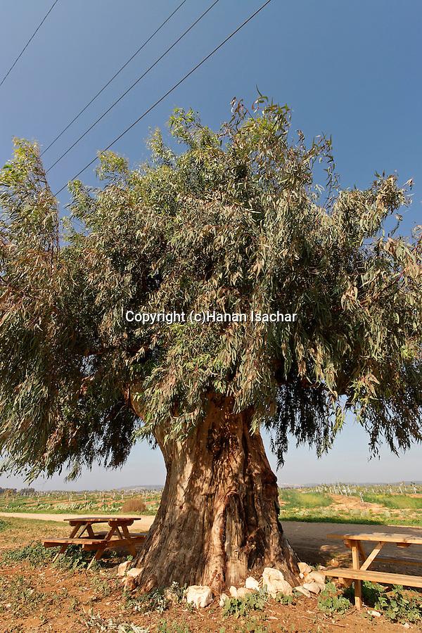 Israel, Sharon region. Eucalyptus tree (Eucalyptus camaldulensis) in Mishmarot