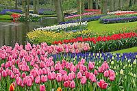 Tulips, Grape Hyacinth, and Daffodils, Keukenhof Gardens, Lisse, Netherlands