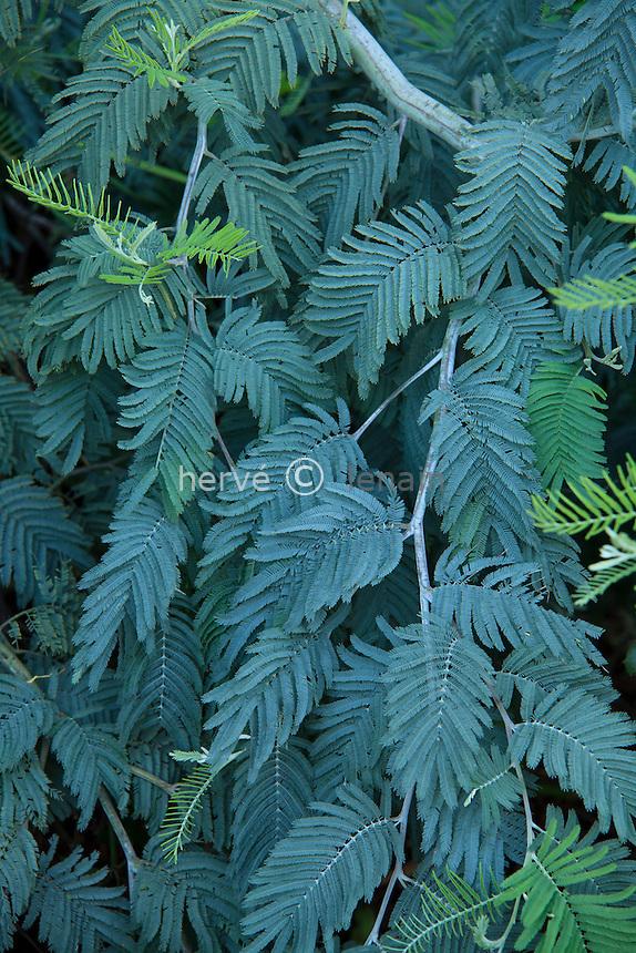 Le Domaine du Rayol:<br /> Acacia dealbata 'Pendula' = mimosa des fleuristes pleureur.