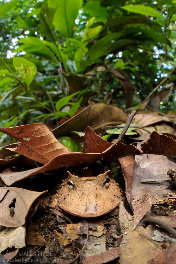 Amazonian Horned Frog (Ceratophrys cornuta) camouflaged amongst leaf litter on lowland rainforest floor, waiting to ambush passing prey. Manu Biosphere Reserve, Amazonia, Peru. November.