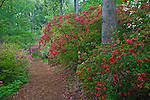 U.S. National Arboretum, Washington D.C.<br /> Pathway amontng the azalea collections, spring