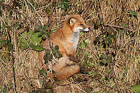 A fox sunning itself near the perimeter fence at Glasgow Prestwick Airport on 23.11.16.