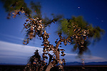 "A view of the ""Shoe Tree"", on a windy, moonlit night. The Shoe Tree is located along historic Route 66, near Amboy, California."