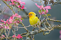 Male Western Tanager (Piranga ludoviciana) in pink dogwood tree.  Pacific Northwest.  Spring.
