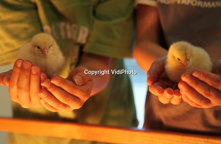 Foto: VidiPhoto..BARNEVELD - Kuikenknuffelen met de Paasdagen in Barneveld. Het Pluimveemuseum in Barneveld laat woensdag extra kuikens uitbroeden voor de Paasdagen. Voor het kippen- en eierenmuseum is het dan de drukste tijd, waar vooral veel kinderen op af komen. Woensdagmiddag konden ze alvast een voorproefje krijgen en de pasgeboren kuikentje bekijken en knuffelen. Het Pluimveemuseum, dat zich presenteert als het verlengstuk van de boerderij, trekt ieder jaar meer (internationale) bezoekers..