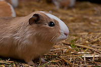 Guinea pig ,Cavia porcellus), also called the cavy, Whitewell, Lancashire.