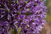Detail of a purple ornamental allium (a member of the onion family), Allium cristophii.