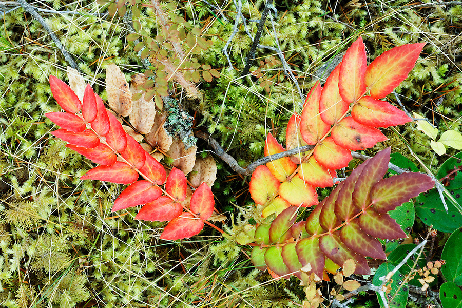 Autumn ground cover, Moran State Park, Orcas Island, Washington, USA