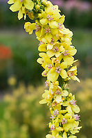 Verbascum Christo's Yellow Lightning