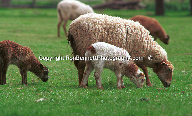"Sheep graze, Domestic sheep in Oregon field, sheep, Ovis aries, quadrupedal, ruminant, mammals, livestock, Agriculture, fleece, lamb, mutton, shearing, pelts, milk, rams, ewes, herding dogs, seasonal breeders, lamb, Fine art Photography and Stock Photography by Ronald T. Bennett Photography ©, FINE ART and STOCK PHOTOGRAPHY FOR SALE, CLICK ON  ""ADD TO CART"" FOR PRICING."