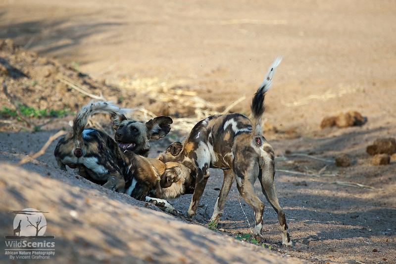 Greeting ritual between African wild dogs.