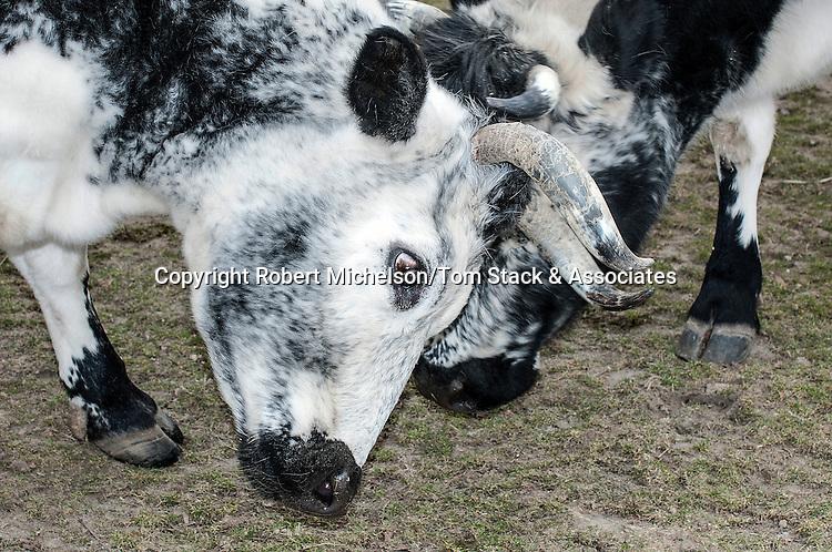 Randall Lineback Cow 2 shot locking horns