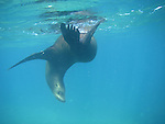 CA sea lion swimming