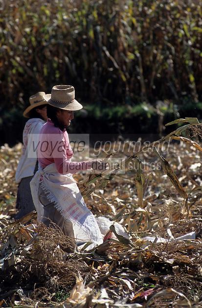 Amérique/Amérique du Sud/Pérou/Env d'Arequipa : Paysannes récoltant le maïs noir