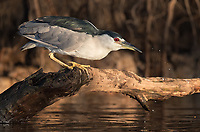 A Black-crowned night heron perches low for a drink of water.