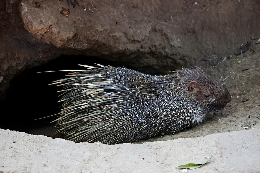 The Malayan porcupine, Hystrix brachyura, is found in Thailand, Sumatera, Borneo and here on Bali in various types of forest habitats as well as open areas near forests. Indonesia.