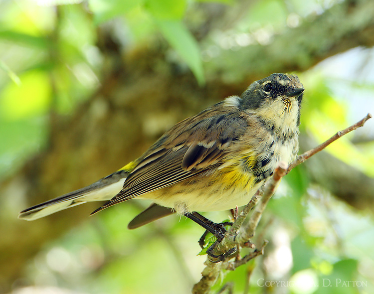 Early April myrtle warbler