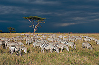 Grazing Common zebra with storm approaching in the distance, Serengeti National Park, Tanzania