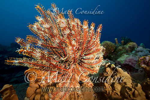 Crinoid (Sea Fan) feeding in the current, Yap Micronesia (Photo by Matt Considine - Images of Asia Collection) (Matt Considine)