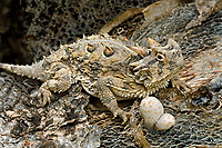 437850008 a wild texas horned lizard phrynosoma cornatum a state listed threatened species sits on a dead mesquite tree branch in the rio grande valley of south texas