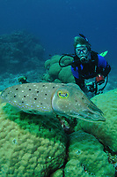 Broadclub Cuttlefish, Sepia latimanus, and diver, Cod Hole, Ribbon Reefs, Great Barrier Reef, Cairns, Queensland, Australia, Coral Sea, South Pacific Ocean (MR)