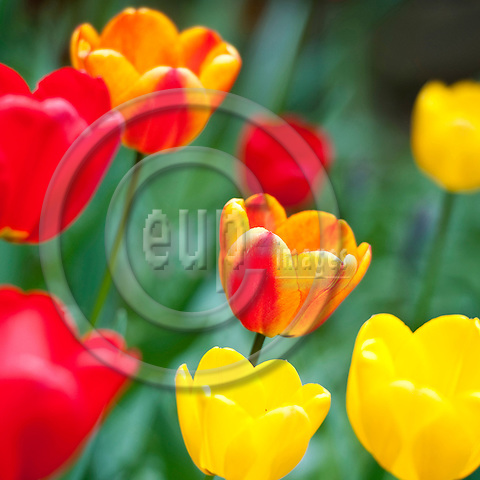Brussels-Belgium - April 16, 2012 -- Tulips in full blow, bloom; red, yellow, orange; flowers, blossom, nature  -- Photo: Horst Wagner / eup-images