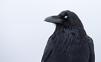 The raven's blue nictitating membrane (third eyelid) is seen mid-blink.
