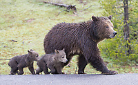 The grizzly family hung out very close to the road, occasionally crossing back and forth.