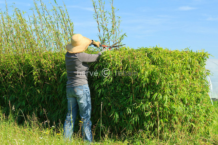 Taille d'une haie de bambous (Fargesia) (model & property release OK) //  Pruning of a hedge of bamboo Fargesia (model & property release OK)