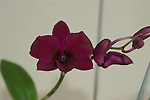 A maroon Dendrobium with a dark throat
