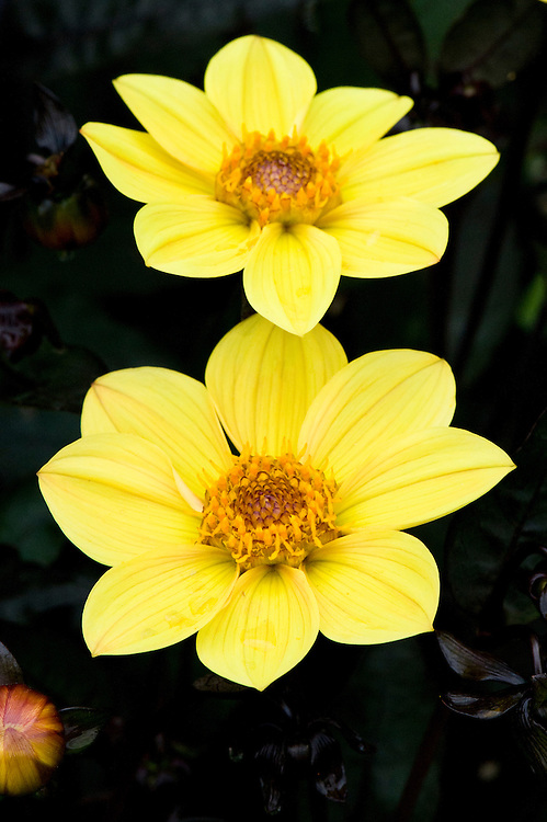 Dahlia 'Happy Single Party', early September.