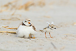 Piping Plover (Charadrius melodus) adult brooding chicks, one chick and stretching its wings after being brooded, northern Massachusetts, USA