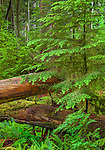 Vancouver Island, British Columbia, Canada: Young hemlock tree and logs in Cathedral Grove, an old Growth forest, MacMillan Provincial Park