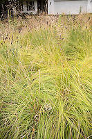 Yellow fall, autumn color of Prairie dropseed grass (Sporobolus heterolepis) Wisconsin front yard meadow garden with prairie grasses design by Neil Diboll