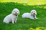 Cockapoodle dogs.