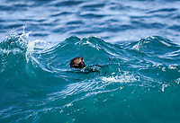 Southern sea otter or California sea otter Enhydra lutris nereis, eating among the waves, Monterey Bay National Marine Sanctuary, Monterey, California, USA, Pacific Ocean