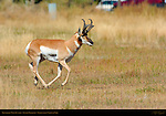 Pronghorn Male Running, Lower Mammoth, Yellowstone National Park, Wyoming