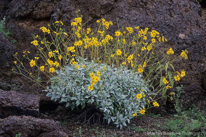Brittlebush (Encelia farinosa), Organ Pipe Cactus National Monument, Arizona