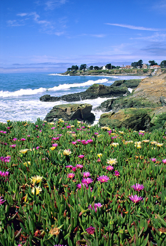 Flowering ice plant West Cliff Drive Santa Cruz California..