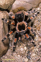 Spiders: Tarantula, Black Widow
